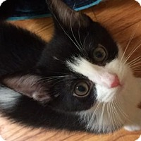 Adopt A Pet :: Lorelei - Hb litter - Livonia, MI