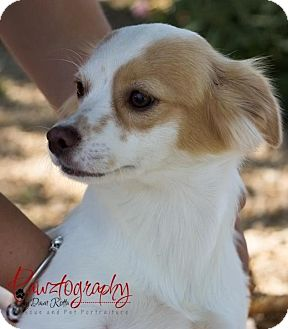 Cavalier King Charles Spaniel Mix Dog for adoption in Phoenix, Arizona - snickers