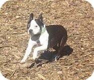 Boston Terrier Dog for adoption in Russellville, Kentucky - Buster