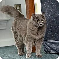 Adopt A Pet :: Bam Bam - Reston, VA