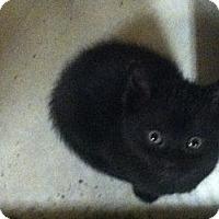 Adopt A Pet :: Ashes - Island Park, NY