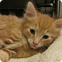 Adopt A Pet :: Meow Dew - Acme, PA