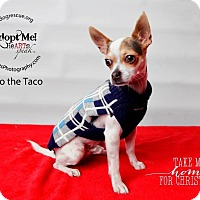 Adopt A Pet :: Paco the Taco - Shawnee Mission, KS