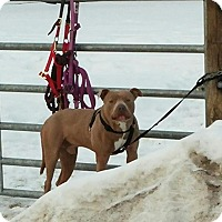 American Pit Bull Terrier Mix Dog for adoption in Middletown, New York - Mr Snuggie