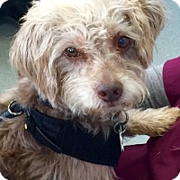 Adopt A Pet :: Cairn Terrier Mix!  Gus - North Bend, WA