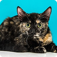 Domestic Shorthair Cat for adoption in Chandler, Arizona - Roxy