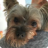 Adopt A Pet :: Pippa - Cerritos, CA