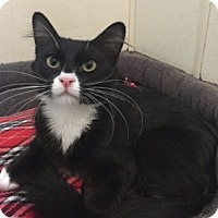 Domestic Shorthair Cat for adoption in Lathrop, California - Posey