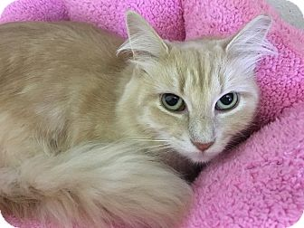 Domestic Longhair Cat for adoption in Toledo, Ohio - Pamela