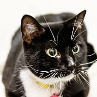 Domestic Shorthair Cat for adoption in Oakland Park, Florida - Mercedes
