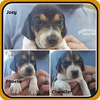 Adopt A Pet :: JOEY,PHOEBE,CHANDLER - Malvern, AR