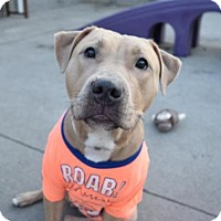 Adopt A Pet :: BELLA RUSE - Brooklyn, NY