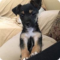 Adopt A Pet :: Karma - Lodi, CA