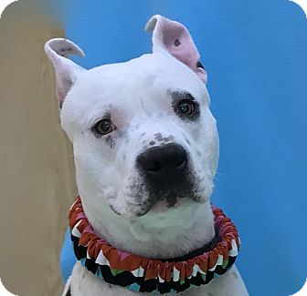 American Staffordshire Terrier Mix Dog for adoption in Evansville, Indiana - Luke