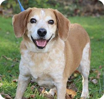 Beagle Mix Dog for adoption in Chester Springs, Pennsylvania - Bronson