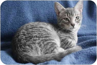 Domestic Shorthair Cat for adoption in Montreal, Quebec - ET