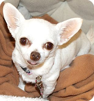 Chihuahua Dog for adoption in Temecula, California - Snowflake-3 1/2 lbs