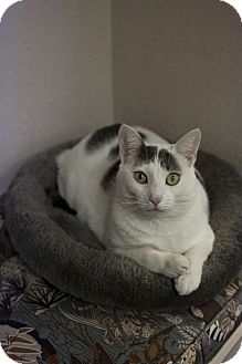 Domestic Shorthair Cat for adoption in St. Petersburg, Florida - Suetonia