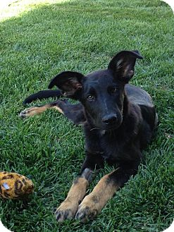 German Shepherd Dog/Labrador Retriever Mix Puppy for adoption in Torrance, California - JAX