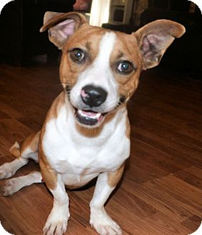 Nate | Adopted Dog | 679 | Chattanooga, TN | Jack Russell ...