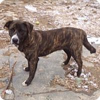 Adopt A Pet :: Bear - Toledo, OH