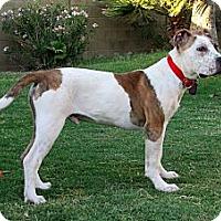 Adopt A Pet :: YOGI BEAR - Phoenix, AZ