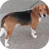 Adopt A Pet :: Chance - Novi, MI