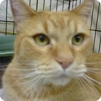 Adopt A Pet :: Orange Cat