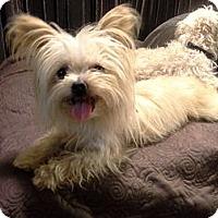 Adopt A Pet :: Suki - San Dimas, CA