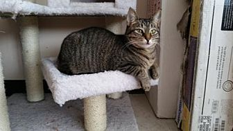 Domestic Mediumhair Cat for adoption in Jefferson, Ohio - Bailey
