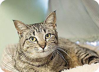 Domestic Shorthair Cat for adoption in Carencro, Louisiana - Apple