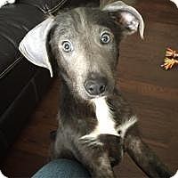Adopt A Pet :: Violet - Joliet, IL