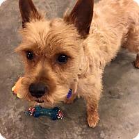Adopt A Pet :: Rascal - Hillsboro, IL