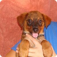 Adopt A Pet :: Calie - Oviedo, FL