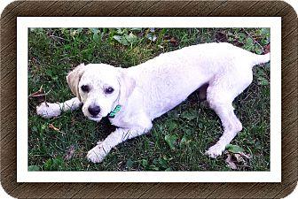 Bichon Frise Dog for adoption in Tulsa, Oklahoma - Adopted!!Browser - MI