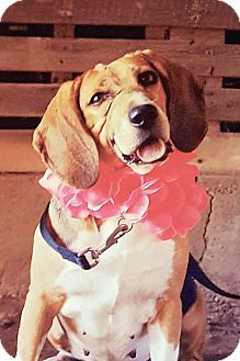 Beagle Mix Dog for adoption in Millersville, Maryland - Jackie
