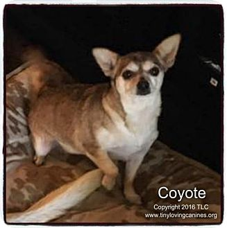 Chihuahua Mix Dog for adoption in Simi Valley, California - Coyote