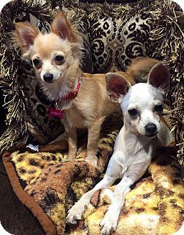 Chihuahua Mix Puppy for adoption in Santa Monica, California - Bambi