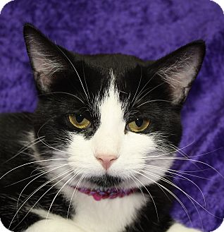 Domestic Shorthair Cat for adoption in Jackson, Michigan - Oreo