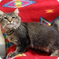 Domestic Longhair Kitten for adoption in Apple Valley, California - Elliott #162133
