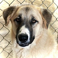 Adopt A Pet :: Bear - Waco, TX