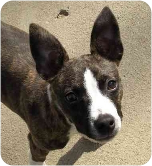 boston terrier rescue missouri spencer adopted puppy kansas city mo rat terrier 9537