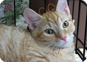 Domestic Shorthair Kitten for adoption in Walkersville, Maryland - Clyde
