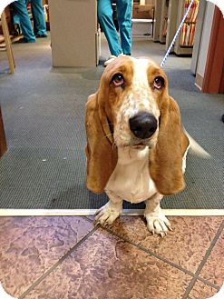 Basset Hound Dog for adoption in Groton, Massachusetts - Lizzie