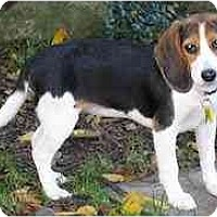 Adopt A Pet :: Korbel - Novi, MI