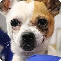 Adopt A Pet :: ZaZu - Mahopac, NY