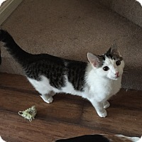 Domestic Shorthair Cat for adoption in Elyria, Ohio - Spanky