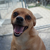 Chihuahua Mix Dog for adoption in San Pablo, California - PEANUT