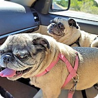 Pug Dog for adoption in Austin, Texas - Bee Bee