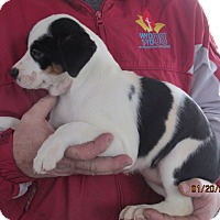 Adopt A Pet :: Estella - Germantown, MD